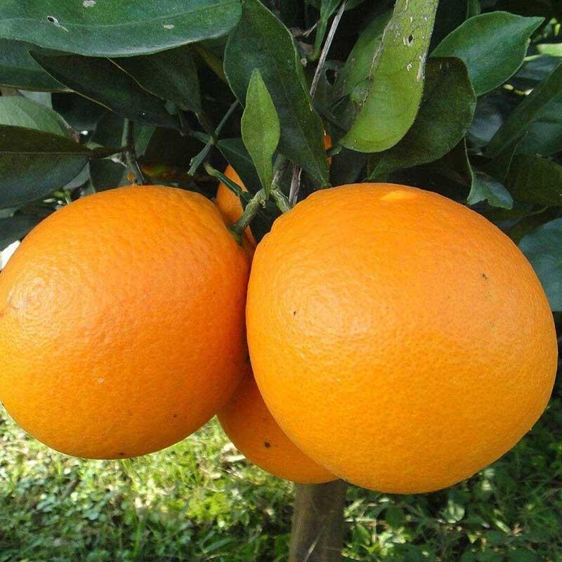 湖北秭归 纽荷尔长红脐橙精品大果10斤